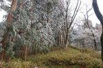 11月3日の金剛山の樹氷