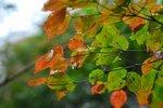 金剛山の紅葉